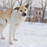 замерзшая пёс :: Николай Шлыков