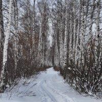 Дорога по Березовому лесу :: Николай Шлыков