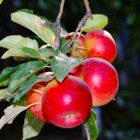 Яблоки в Саду :: Дмитрий Скубаков