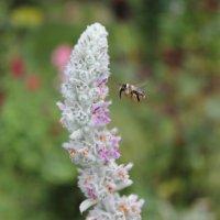 пчела :: Владимир Бернацкий