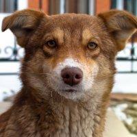 Пёс с коричневым носом :: Николай Шлыков