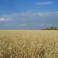 Хлебное поле :: Наталья Степная