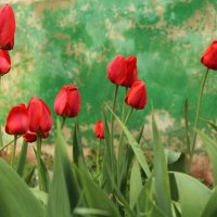 Тюльпаны :: Александр Богомолов