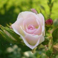 Роза :: Светлана Овчинникова