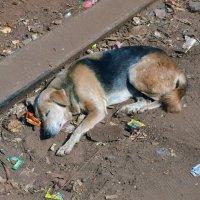 2012 год. Индия. Собака :: Владимир Шибинский