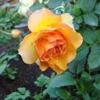 Мой сад. Роза. :: Ольга Иргит
