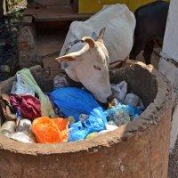 2012 год. Индия. Священная корова. Судьба: свободная жизнь и неограниченное благо :: Владимир Шибинский