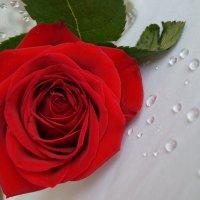Роза и капли :: Анастасия Корниенко