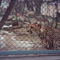 leopard :: Arina Kekshoeva