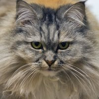 Кошка Буся. :: Alex Boo