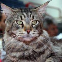 Выставка кошек :: Владимир Сарычев