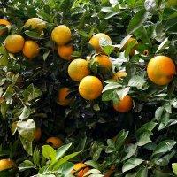 апельсины :: evgeni vaizer