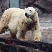 Bear :: Arina Kekshoeva