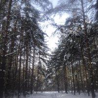 Зимний лес в январе 2013 :: Ольга Кривых