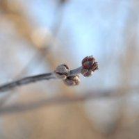 Почки зимой :: S.A. Дулова