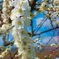 Яблоня цветет :: Sergey Savchenko