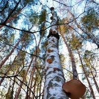 Грибное дерево :: dimakoshelev Кошелев