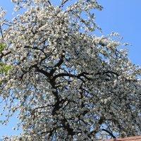 Яблоня в цвету :: alexa1977 Баландин