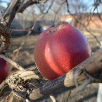 яблоки зимой :: Игорь Храмцов
