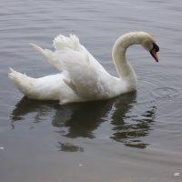 Лебедь :: Владимир