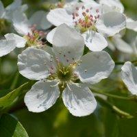 цветок яблони :: Михаил Б