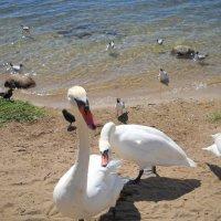 Лебеди :: Маша Ильинова