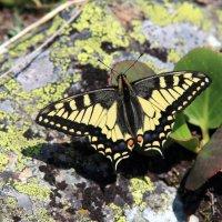 Бабочка :: василий Ляпунов