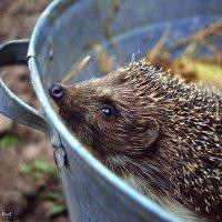 The Hedgehog 2 :: Diana Mega