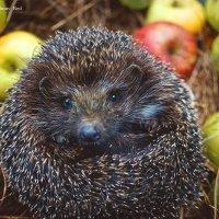 The Hedgehog 3 :: Diana Mega