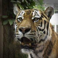 Tiger :: Vladimir Nosov