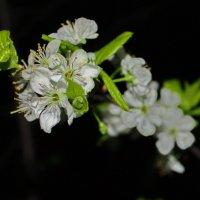 вишнёвое цветение :: Александр Шурпаков