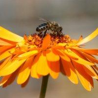 Пчелка и лепестки огня :: Светлана Белова