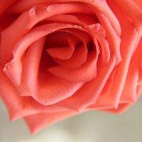 Роза :: Мария Рябухина