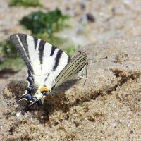 Бабочка :: Алла Z