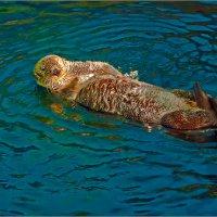 Калан - самый симпатичный обитатель лиссабонского океанариума. :: Lmark