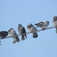Алло, голуби на проводе! :: Наталья Рубан