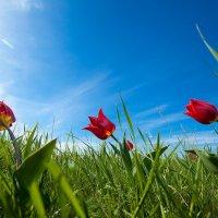 Тюльпаны глазами клеща)) :: iGOR