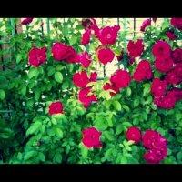 Розы :: Кристина Смирнова