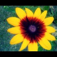 Жёлтые ромашки) :: Кристина Смирнова