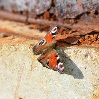 осенняя бабочка :: N. Efimkina