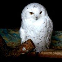 полярная сова :: Марья CheKos