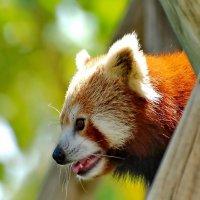 Портрет красной панды. :: Виталий Половинко