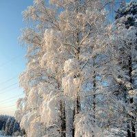 Белая берёза под моим окном... :: Маргарита Дворянникова
