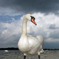 Прима лебединого озера :: Александр Титов