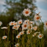 Ромашки в свете заката :: Геннадий Коробков