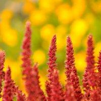 Просто понравилась цветовая гамма ... цветок- Амарант :: Maxxx©