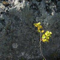 Береза на камне :: нина Николаева