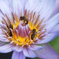 Пчелы - трудяги :: Екатерина Березина