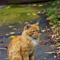 осенний кот :: Юлия Трибунская