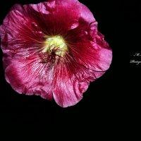 Flower :: Максим Королькевич
